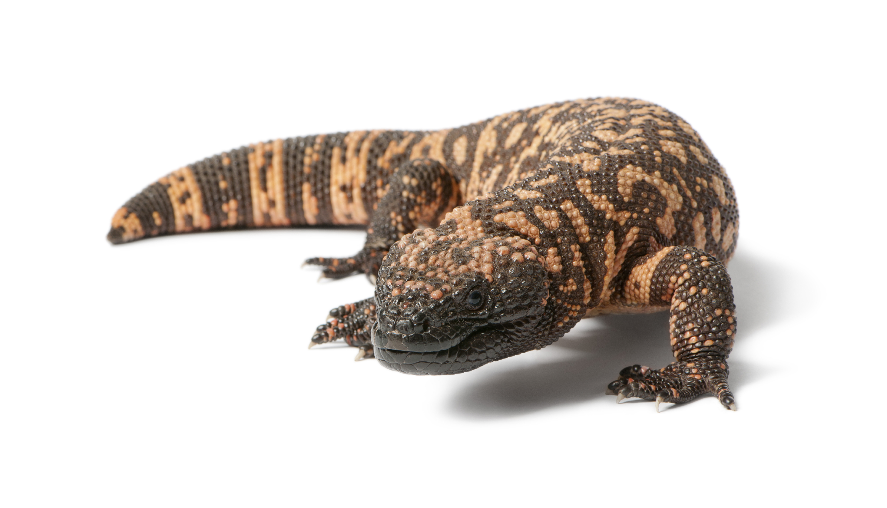 gila monster 1